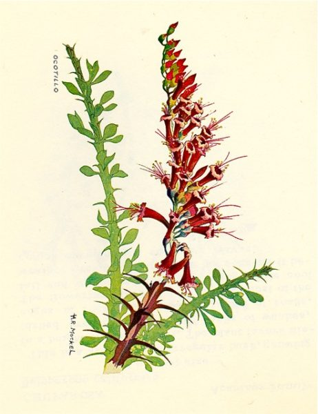 Mockel ocotillo