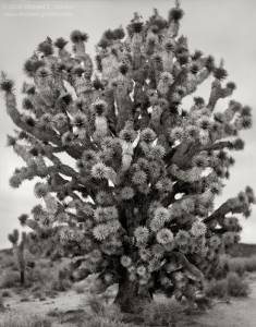 Michael Gordon's Portraits of Joshua Trees